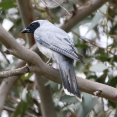 Coracina novaehollandiae (Black-faced Cuckooshrike) at ANBG - 9 Jan 2019 by RodDeb