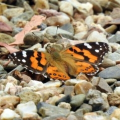 Vanessa kershawi (Australian Painted Lady) at ANBG - 9 Jan 2019 by RodDeb