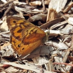 Heteronympha merope (Common Brown) at ANBG - 10 Jan 2019 by RodDeb