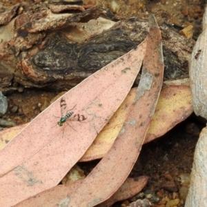 Heteropsilopus sp. (genus) at ANBG - 10 Jan 2019