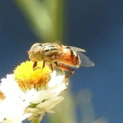 Eristalinus punctulatus (Native Drone Fly) at ANBG - 10 Jan 2019 by RodDeb