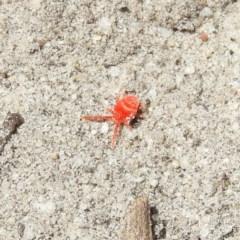 TROMBIDIIDAE (Red velvet mite) at Meroo National Park - 4 Jan 2019 by MatthewFrawley