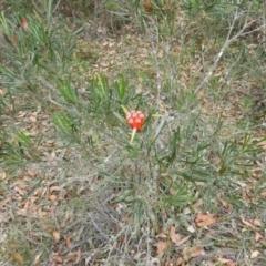 Lambertia formosa at Meroo National Park - 3 Jan 2019