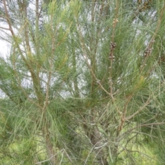 Casuarina glauca at Meroo National Park - 3 Jan 2019