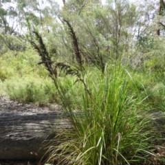 Gahnia clarkei (Tall Saw-sedge) at Meroo National Park - 3 Jan 2019 by MatthewFrawley