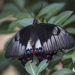 Papilio aegeus (Orchard Swallowtail) at Higgins, ACT - 10 Jan 2019 by Alison Milton