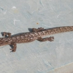 Christinus marmoratus (Southern Marbled Gecko) at Higgins, ACT - 10 Jan 2019 by Alison Milton