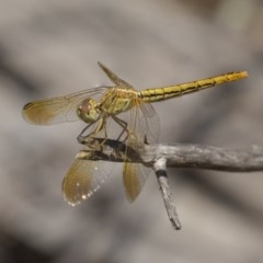 Diplacodes haematodes (Scarlet Percher) at The Pinnacle - 11 Jan 2019 by Alison Milton