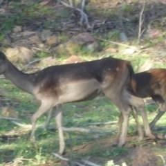 Dama dama (Fallow Deer) at Kambah Pool - 11 Jan 2019 by SandraH