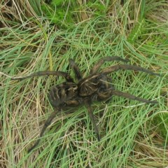Tasmanicosa sp. (genus) (Unidentified Tasmanicosa wolf spider) at Kosciuszko National Park - 8 Jan 2019 by JackieMiles