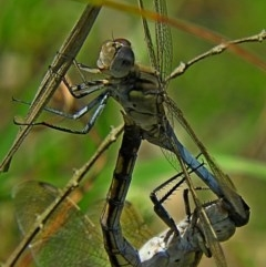 Orthetrum caledonicum (Blue Skimmer) at Brogo, NSW - 11 Jan 2019 by MaxCampbell