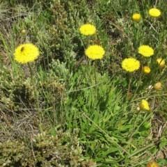 Rutidosis leiolepis (Monaro Golden Daisy) at Kosciuszko National Park - 3 Jan 2019 by JackieMiles