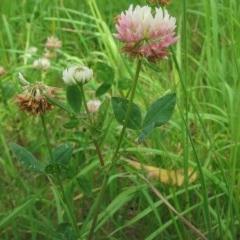 Trifolium fragiferum (Strawberry Clover) at Kosciuszko National Park - 4 Jan 2019 by JackieMiles