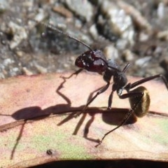 Camponotus suffusus (Golden-tailed sugar ant) at ANBG - 11 Jan 2019 by Christine