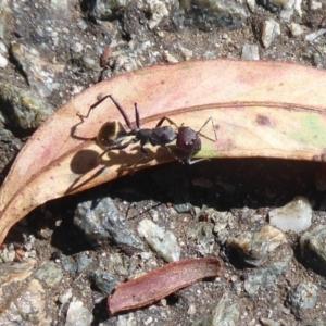 Camponotus suffusus at ANBG - 12 Jan 2019