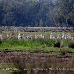 Pelecanus conspicillatus (Australian Pelican) at Milton, NSW - 1 Jan 2019 by Charles Dove