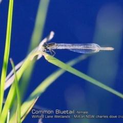 Ischnura heterosticta (Common Bluetail) at Milton, NSW - 3 Jan 2019 by Charles Dove