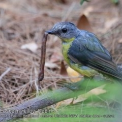 Eopsaltria australis (Eastern Yellow Robin) at One Track For All - 6 Jan 2019 by CharlesDove