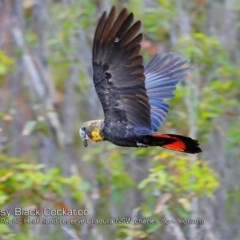 Calyptorhynchus lathami (Glossy Black-cockatoo) at South Pacific Heathland Reserve - 6 Jan 2019 by Charles Dove