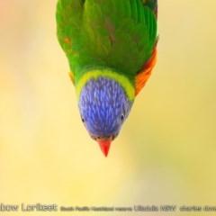 Trichoglossus haematodus (Rainbow Lorikeet) at South Pacific Heathland Reserve - 6 Jan 2019 by Charles Dove