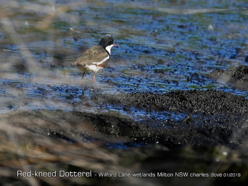 Erythrogonys cinctus at Milton, NSW - 4 Jan 2019
