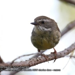 Sericornis frontalis (White-browed Scrubwren) at South Pacific Heathland Reserve - 6 Jan 2019 by CharlesDove
