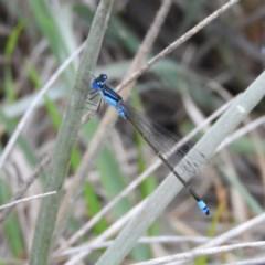 Ischnura heterosticta (Common Bluetail) at Meroo National Park - 2 Jan 2019 by MatthewFrawley
