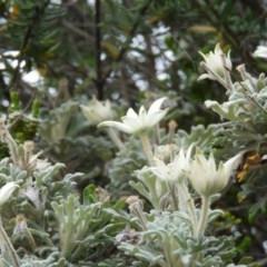 Actinotus helianthi (Flannel Flower) at Meroo National Park - 2 Jan 2019 by MatthewFrawley