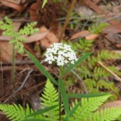 Platysace lanceolata (Shrubby Platysace) at Meroo National Park - 3 Jan 2019 by MatthewFrawley