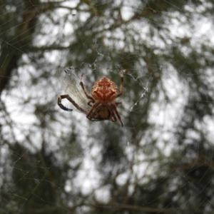 Eriophora sp. at Meroo National Park - 3 Jan 2019