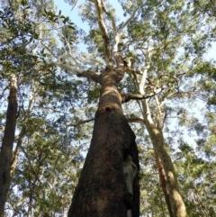 Eucalyptus pilularis (Blackbutt) at Meroo National Park - 3 Jan 2019 by MatthewFrawley