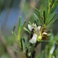 Meroglossa itamuca (A Plasterer Bee) at Greenleigh, NSW - 12 Jan 2019 by LyndalT