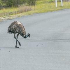 Dromaius novaehollandiae (Emu) at Tidbinbilla Nature Reserve - 12 Jan 2019 by frostydog
