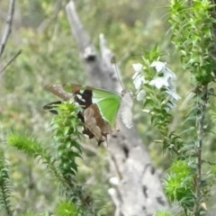 Graphium macleayanus (Macleay's Swallowtail) at Morton National Park - 12 Jan 2019 by Stewart
