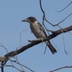 Cracticus torquatus (Grey Butcherbird) at Hughes, ACT - 10 Jan 2019 by JackyF