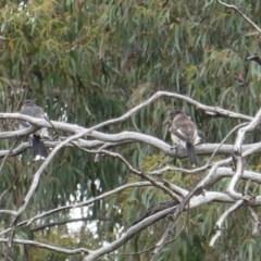 Cracticus torquatus (Grey Butcherbird) at Hughes Grassy Woodland - 11 Jan 2019 by JackyF