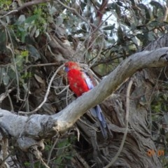 Platycercus elegans (Crimson Rosella) at Hughes Grassy Woodland - 7 Jan 2019 by TomT