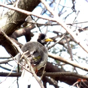 Manorina melanocephala at Red Hill Nature Reserve - 6 Jan 2019