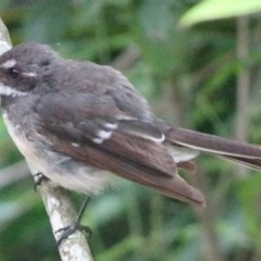 Rhipidura albiscapa (Grey Fantail) at FS Private Property - 13 Jan 2019 by Stewart