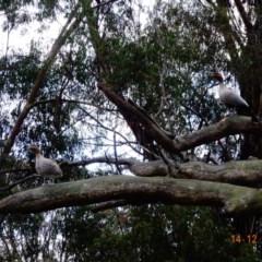 Chenonetta jubata (Australian Wood Duck) at Hughes Grassy Woodland - 13 Dec 2018 by TomT