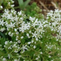 Sedum album (White Stonecrop) at Isaacs Ridge and Nearby - 12 Jan 2019 by Mike
