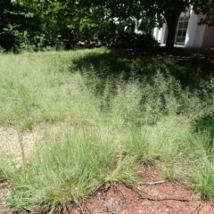 Eragrostis curvula (African Lovegrass) at City Renewal Authority Area - 12 Jan 2019 by JanetRussell