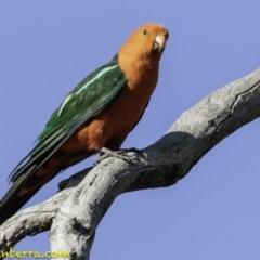 Alisterus scapularis (Australian King-Parrot) at Red Hill Nature Reserve - 11 Jan 2019 by BIrdsinCanberra