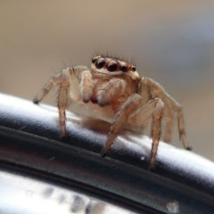 Hypoblemum griseum (A jumping spider) at Spence, ACT - 9 Jan 2019 by Laserchemisty