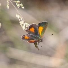 Paralucia aurifer (Bright Copper) at Tidbinbilla Nature Reserve - 5 Jan 2019 by SWishart