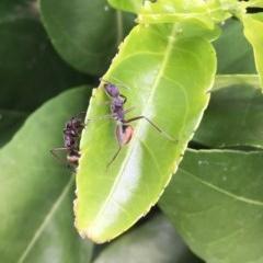 Camponotus suffusus (TBC) at Wolumla, NSW - 13 Jan 2019 by PatriciaDaly