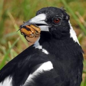 Gymnorhina tibicen at Jerrabomberra Wetlands - 13 Jan 2019
