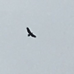 Aquila audax (Wedge-tailed Eagle) at Wolumla, NSW - 8 Jan 2019 by PatriciaDaly