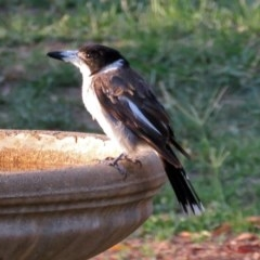 Cracticus torquatus (Grey Butcherbird) at Macarthur, ACT - 13 Jan 2019 by RodDeb
