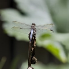 Orthetrum caledonicum (Blue Skimmer) at Higgins, ACT - 12 Jan 2019 by Alison Milton